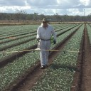 New herbicide in onions shows promise